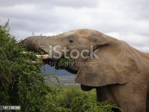 istock Elephant head - side view 181136266