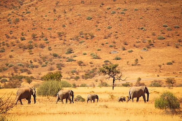 elephant heard folgenden matriarchin elefanten-safari in afrika, namibia - namib wüste stock-fotos und bilder