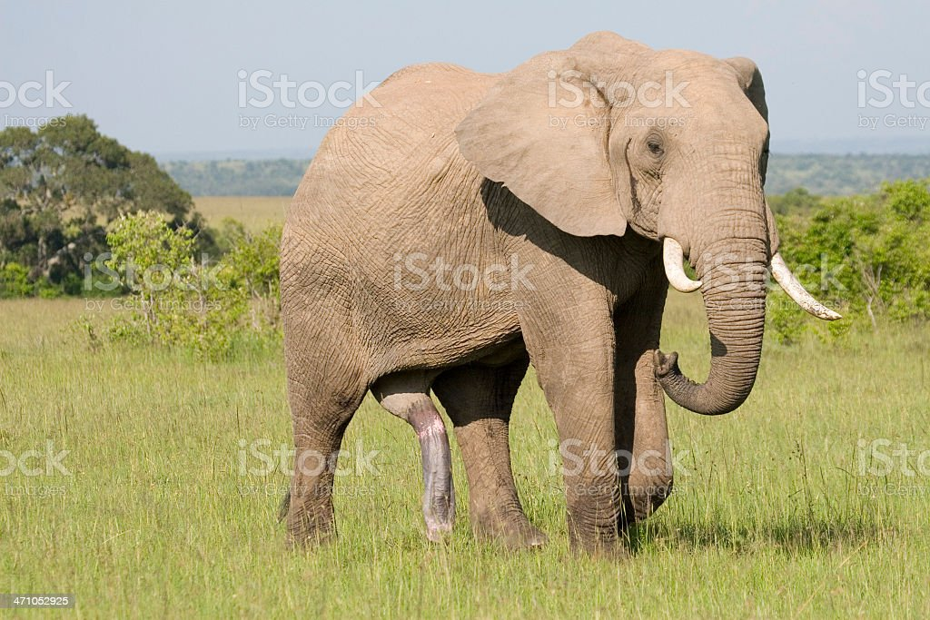 Elephant Heat Stock Photo & More Pictures of Africa | iStock