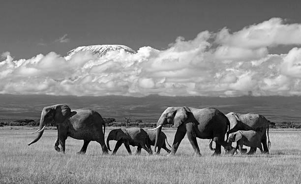 Elephant herd and kilimanjaro picture id483528323?b=1&k=6&m=483528323&s=612x612&w=0&h=xf6yimff3erkivrjctvqcz9zi7eaionvojdingxwcou=