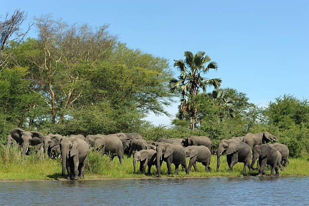 Elephant herd at river stock photo