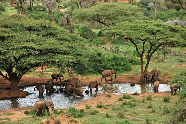 Elephant herd at waterhole and acacia trees stock photo