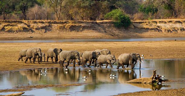 elefanten-herde-fluss in sambia - sambia stock-fotos und bilder