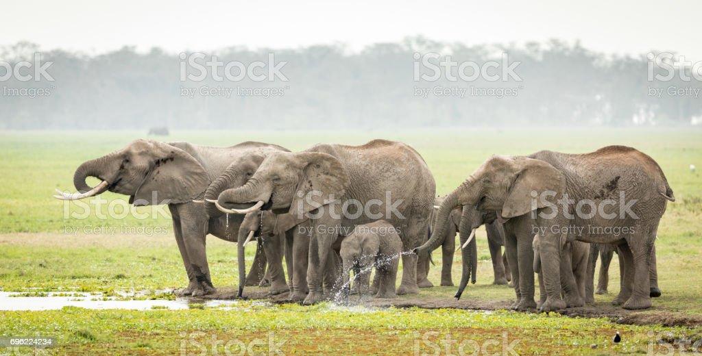 Elephant herd drinking, Amboseli, Kenya stock photo
