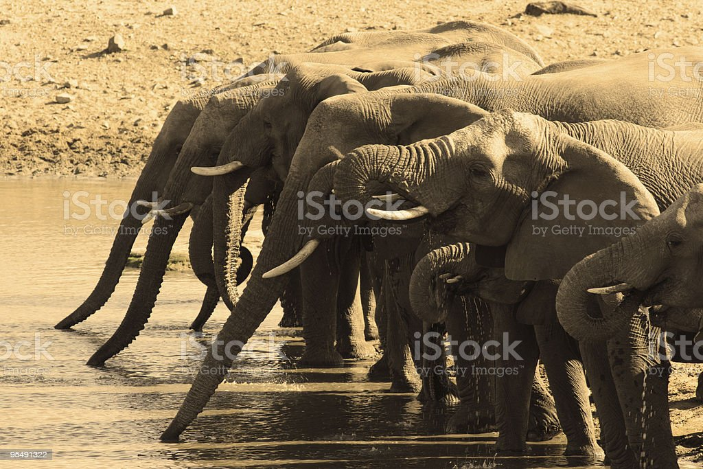 Elephant herd drinking in sepia royalty-free stock photo