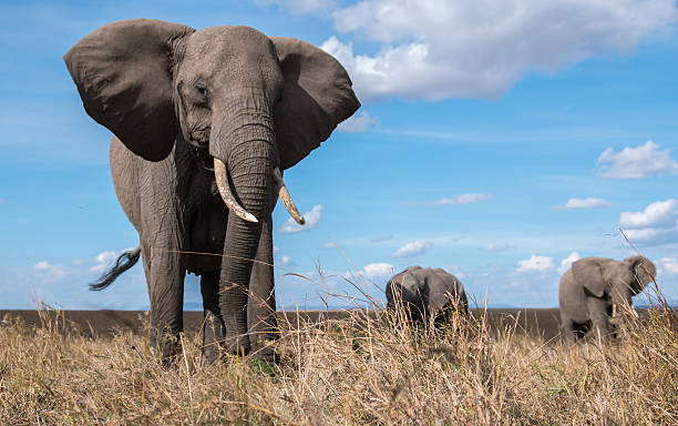 Elephant herd from ground level close up stock photo