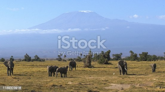an elephant herd grazing with mt kilimanjaro in the distance at amboseli national park, kenya