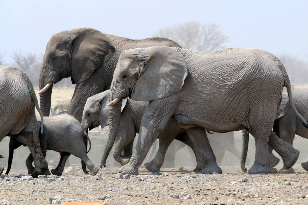 Elephant herd is running - Namibia Africa Elephant herd is running - Namibia Africa poaching animal welfare stock pictures, royalty-free photos & images