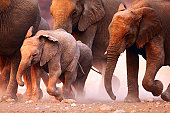 Elephant herd on the run in Etosha desert