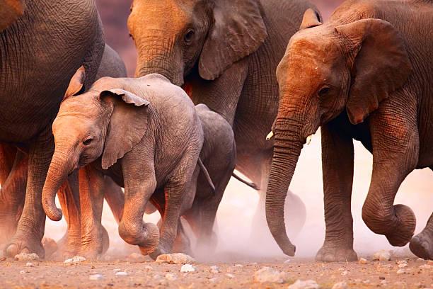 Elephant herd running Elephant herd on the run in Etosha desert herding stock pictures, royalty-free photos & images