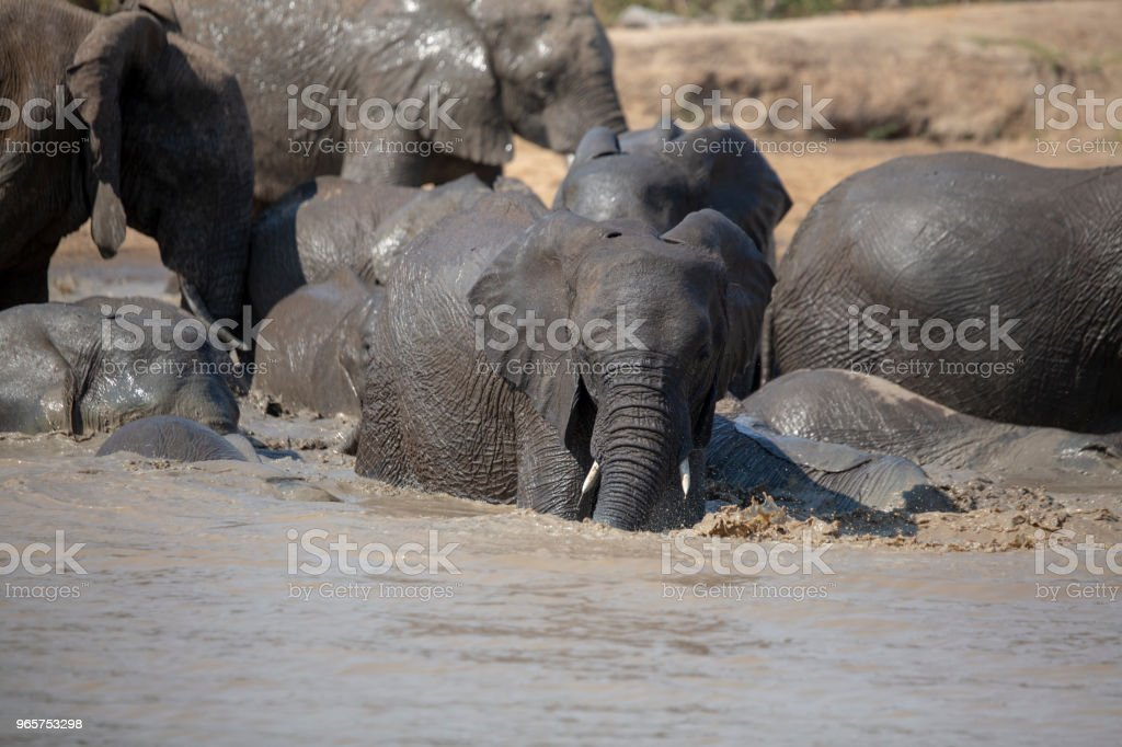 Elephant herd Swimming - Royalty-free Adventure Stock Photo
