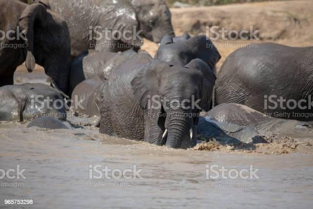 Elephant Herd Swimming Stock Photo - Download Image Now