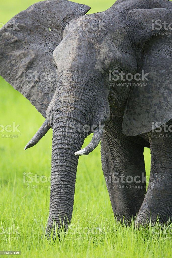 Elephant in Africa on Safari, Zambia royalty-free stock photo