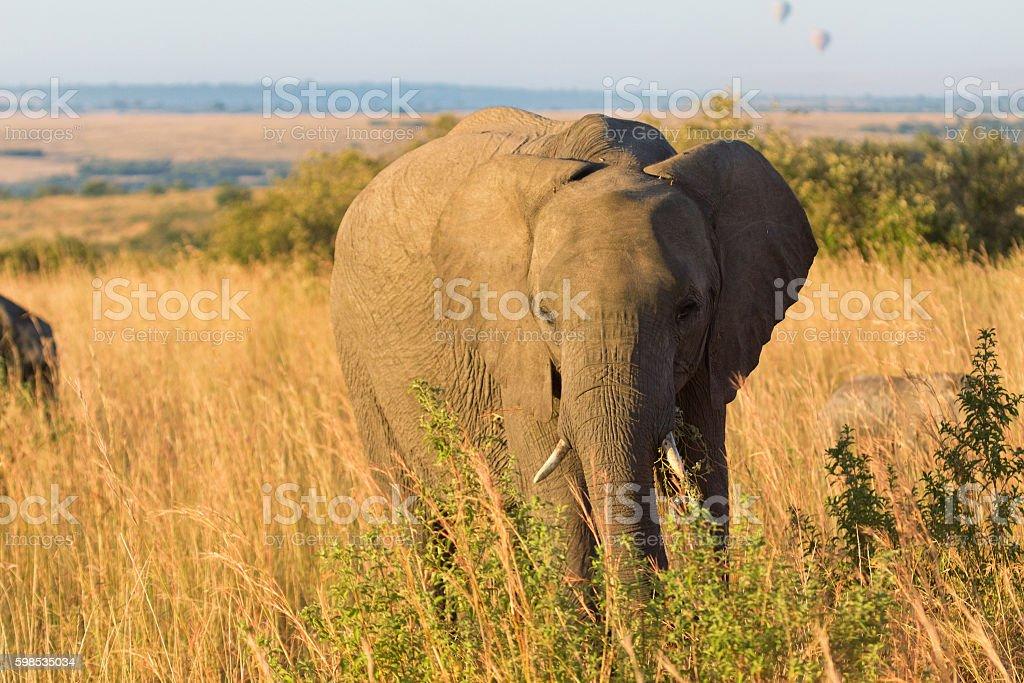 Éléphant en Amboseli photo libre de droits