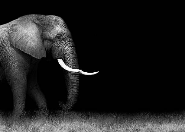 Elephant in black and white Monochrome image of a wild African elephant with a dark background tusk stock pictures, royalty-free photos & images