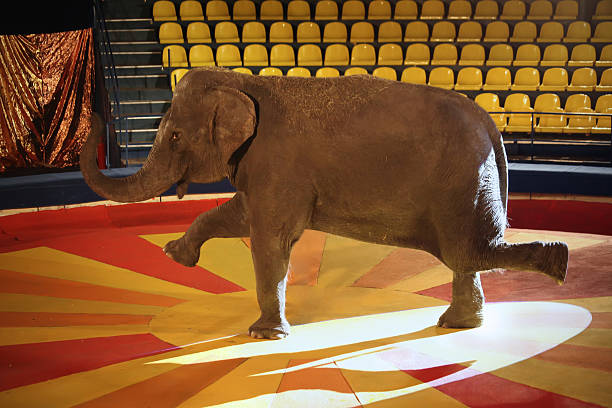 Elephant in circus stock photo