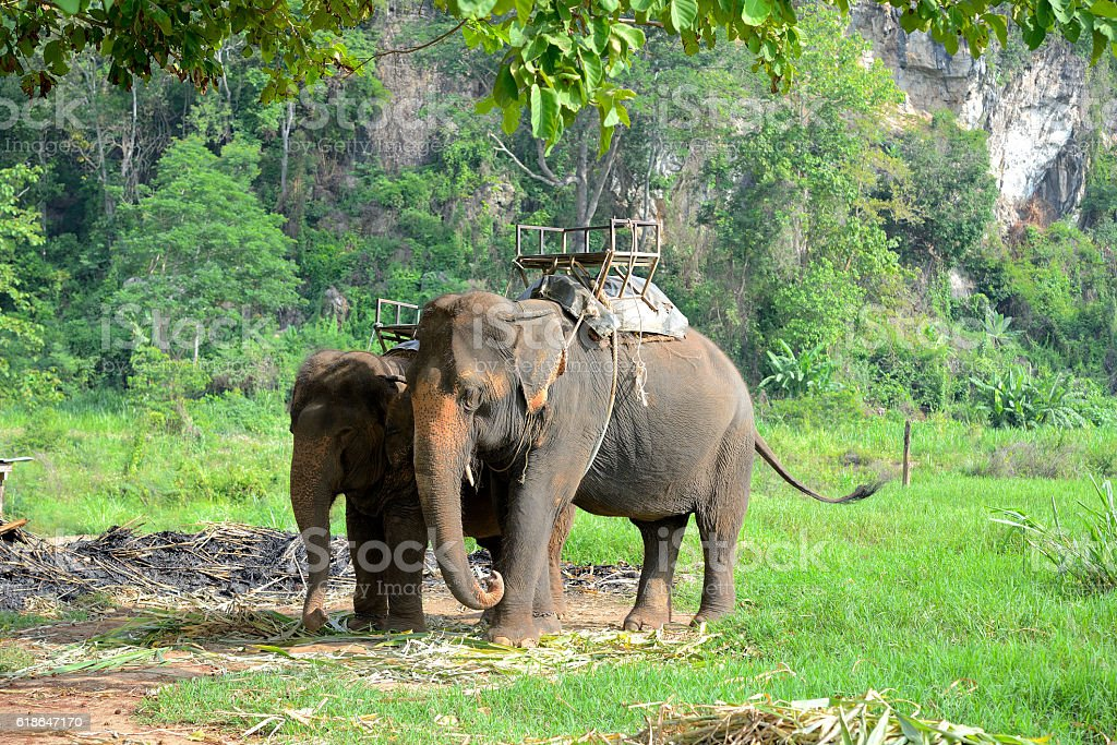 elephant in forest at Chiang mai, thailand stock photo