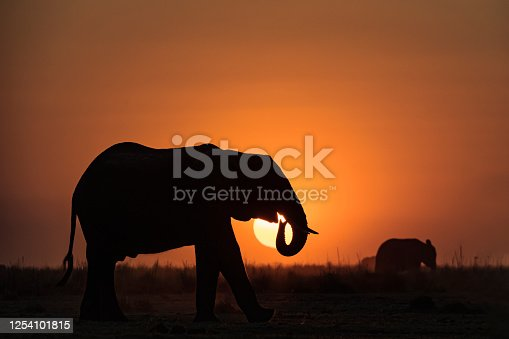 A large male  African elephant (Loxodonta africana) in foreground of an African sunset. Chobe National Park, \nBotswana, Africa.