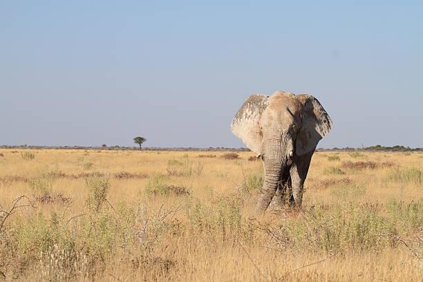 Elephant in grass plains of Etosha National Park stock photo