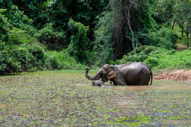 elefant in laos - laos stock-fotos und bilder