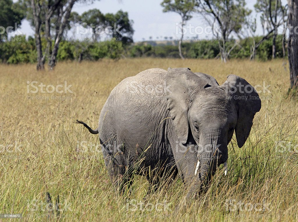 Elephant in Long Grass royalty-free stock photo