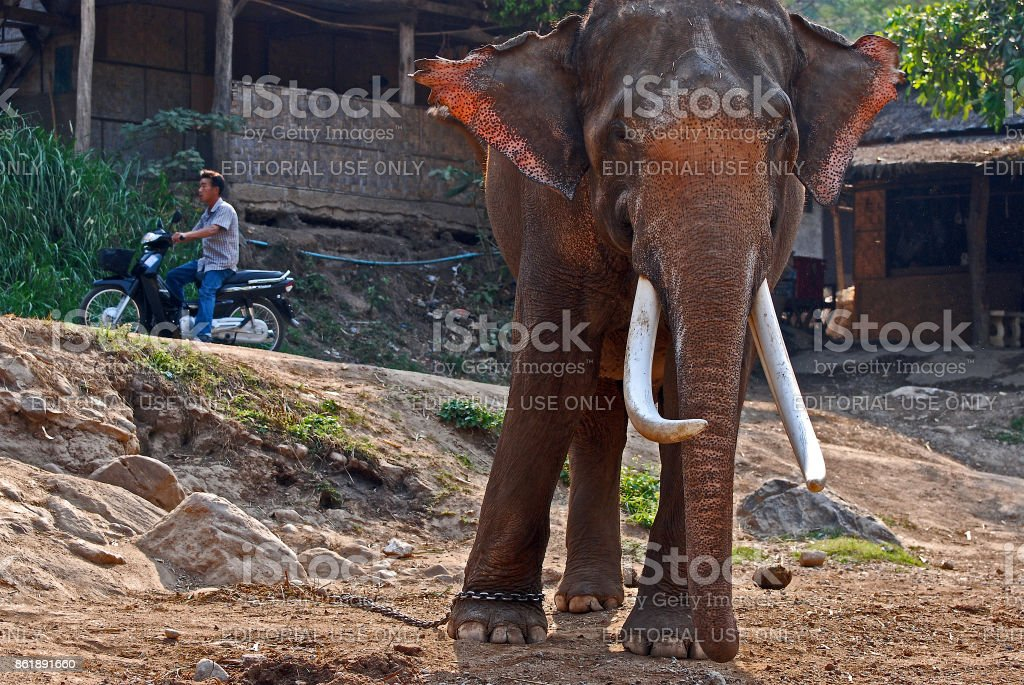 Elephant in mahout village, with mahout on scooter in background stock photo