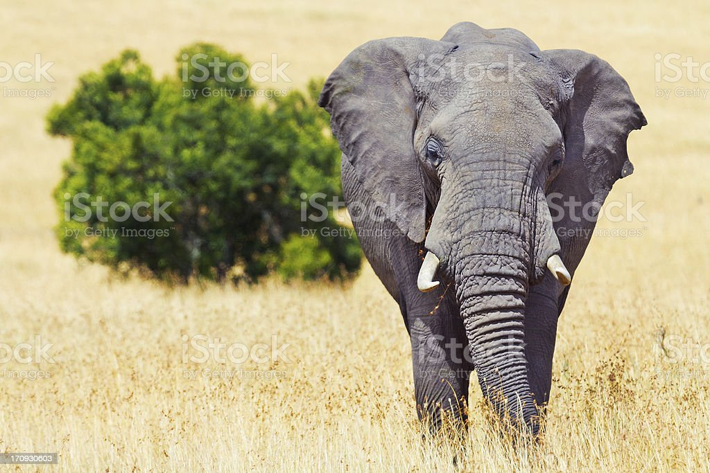 Elephant in Masai Mara royalty-free stock photo