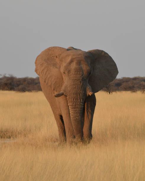 Elephant in Namibia stock photo