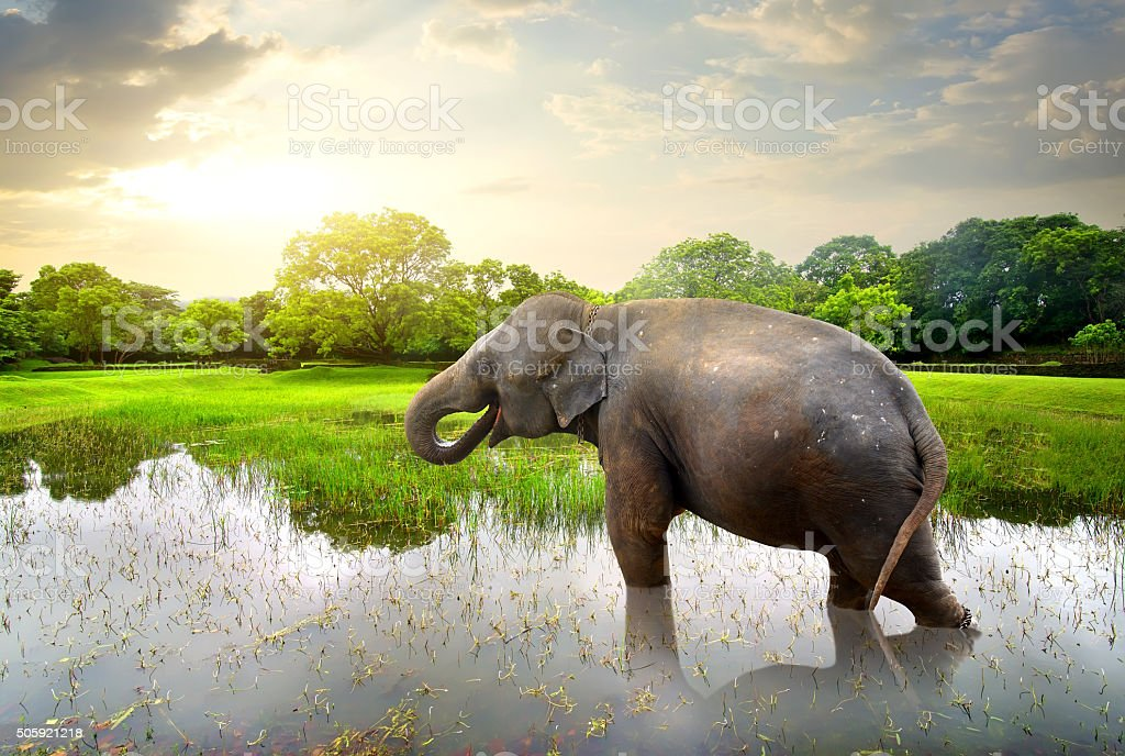 Elephant in pond stock photo