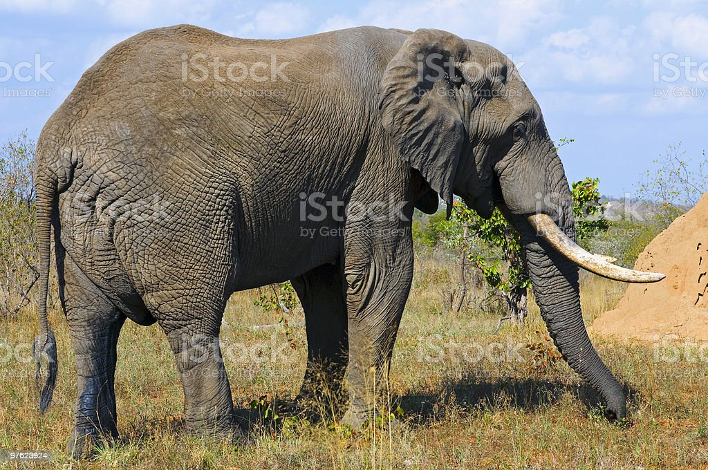 Elephant in South Africa royalty-free stock photo