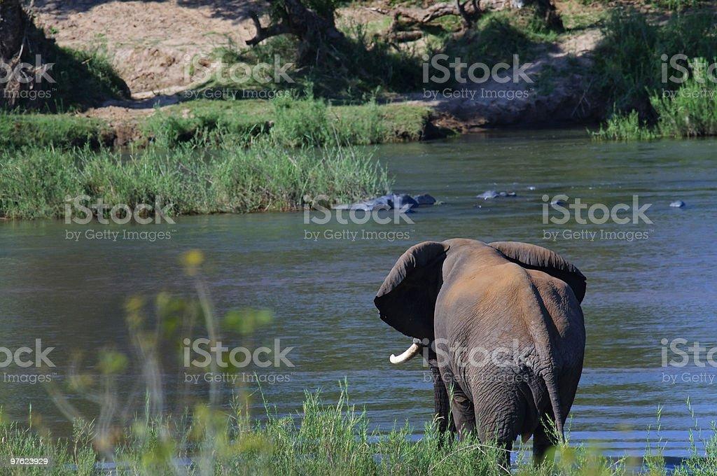 Elephant  in South Africa royaltyfri bildbanksbilder