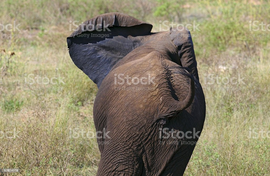 Elephant in South Africa royaltyfri bildbanksbilder