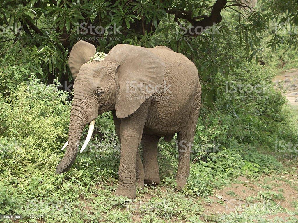 Elephant in Tanzania royalty-free stock photo