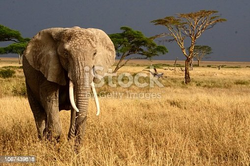Elephant in the Serengeti National Park walking in front of a storm to a watering hole