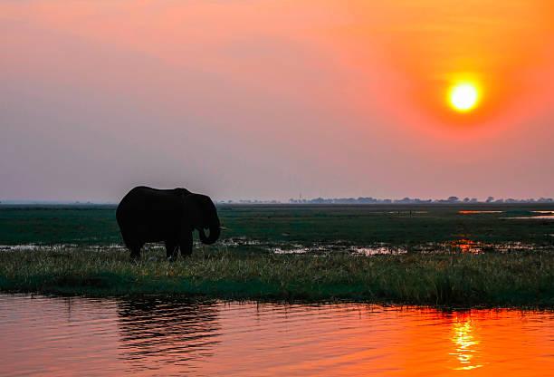 elefanten im sonnenuntergang - fluss sambesi stock-fotos und bilder