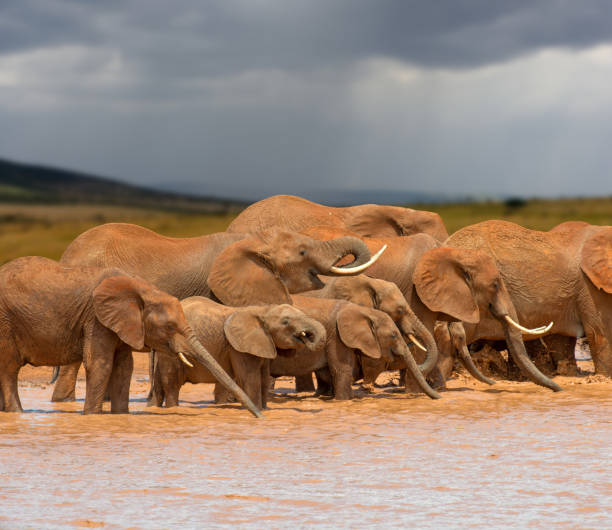 Elephant in water. National park of Kenya stock photo