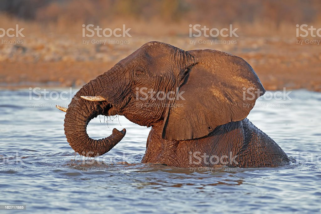 Elephant in water royalty-free stock photo