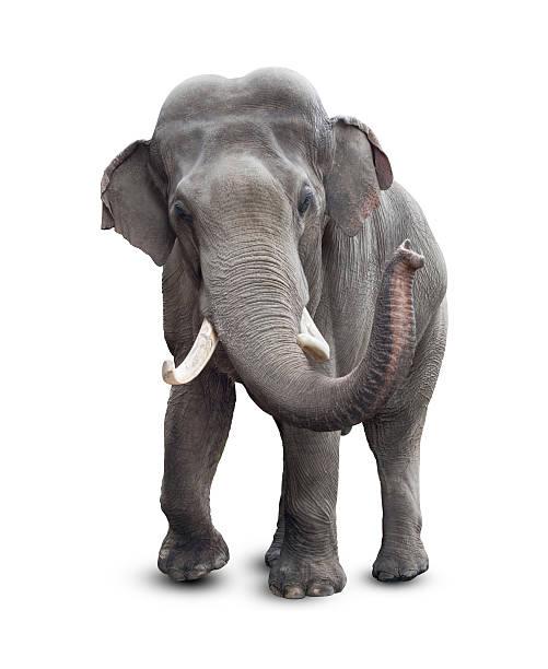 Éléphant isolé sur blanc avec un Tracé de détourage inclus - Photo