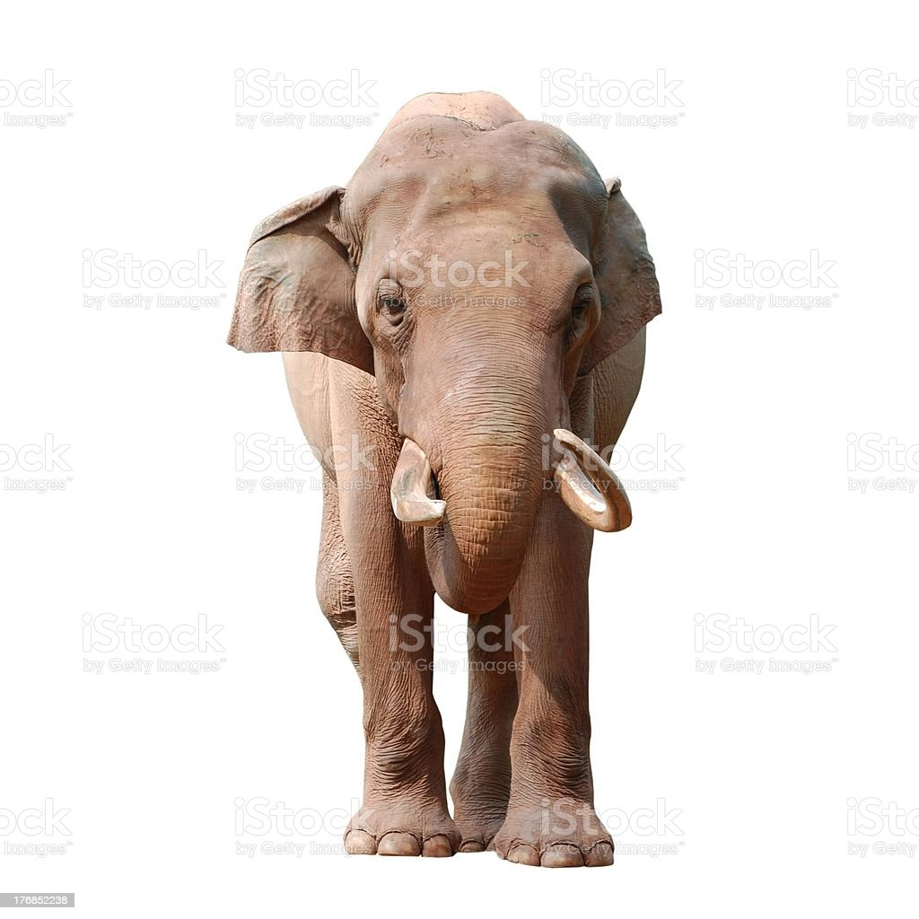 elephant isolated stock photo