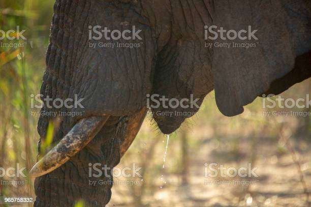 Elephant Ivory - Fotografias de stock e mais imagens de Animal