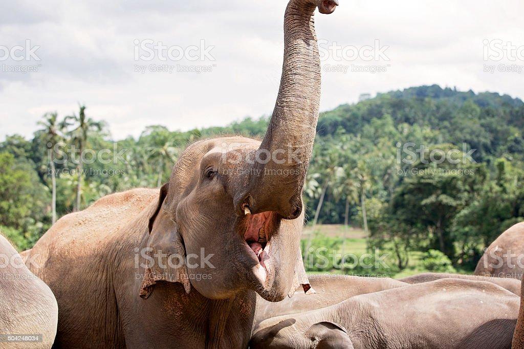 Fotografía de Elefante Levantar Su Tronco Con Boca Abierta y más ...