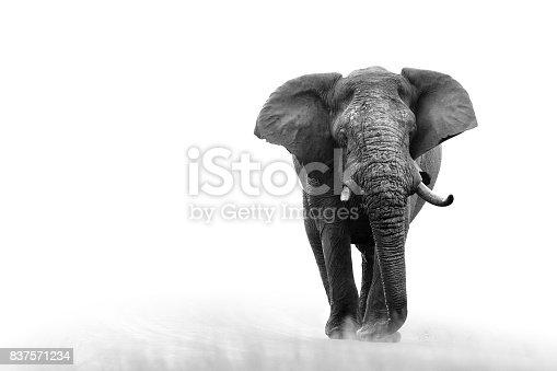 istock Elephant loxodonta africana big5 safari wildlife game drive Kruger black white 837571234