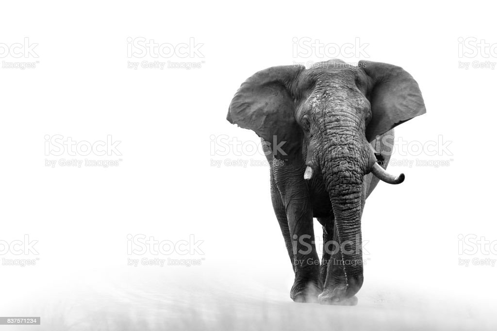Elephant loxodonta africana big5 safari wildlife game drive Kruger black white stock photo
