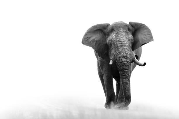 Elephant loxodonta africana big5 safari animaux sauvages jeu drive Kruger noir blanc - Photo