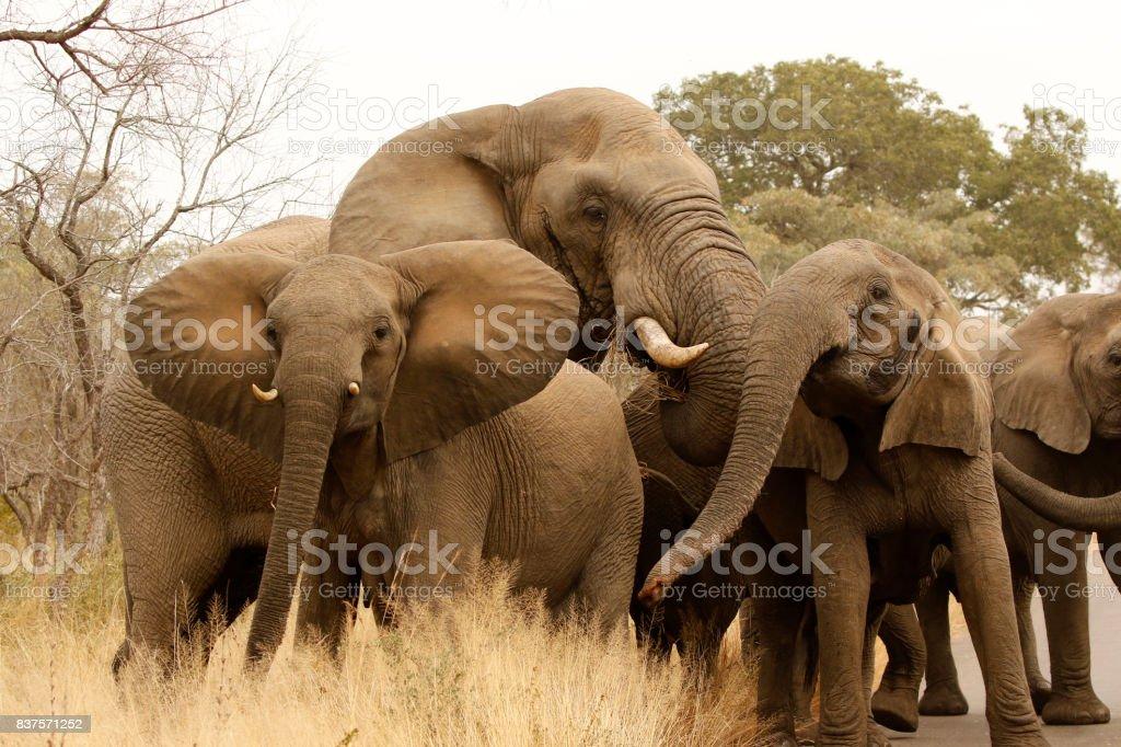 Elephant loxodonta africana family big5 wildlife safari game drive Kruger bush land lowveld stock photo