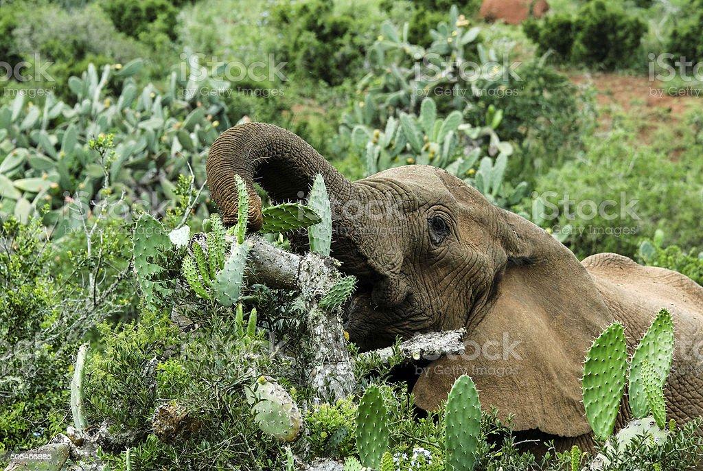 Elephant Lunch stock photo