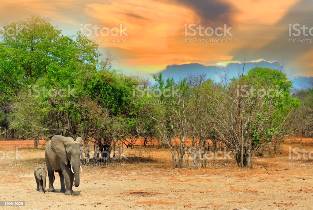 Elephant Matriarch and Calf standing on the African Savannah, with a bush background and cloudscape, south luangwa, zambia, southern africa
