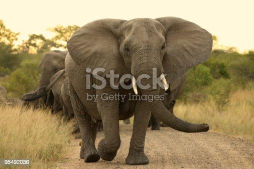istock Elephant matriarch cow leading a herd. 95492036