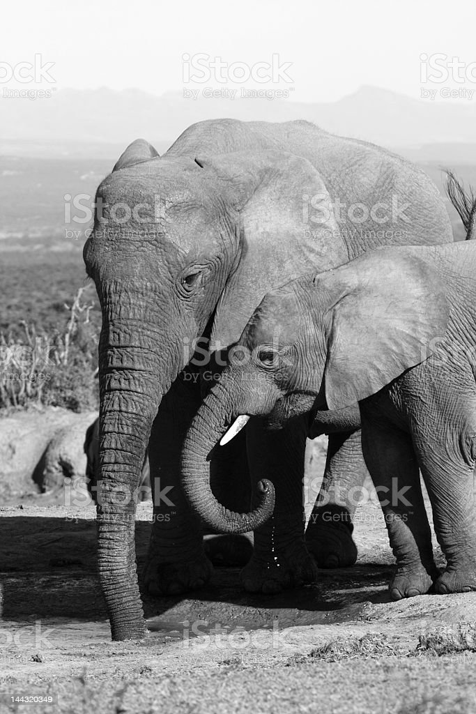 Elephant mom and daughter royalty-free stock photo