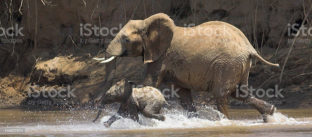 Elephant mother and baby running in river royalty-free stock photo